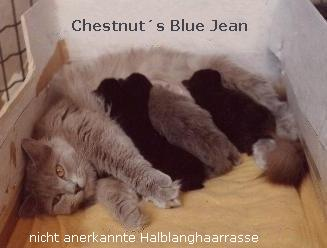 Chestnut´s Blue Jean