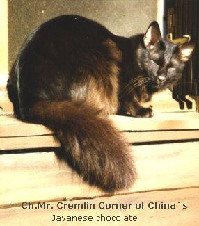Mr.Cremlin Corner of China ( Chocolate Oriental Longhair)